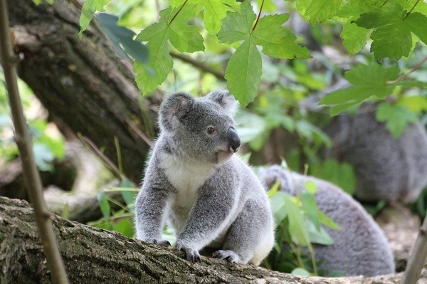 best attractions and experiences to enjoy in sydney seeing koalas